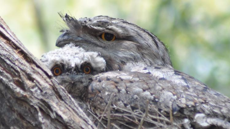 Tawny Frogmouth with chick