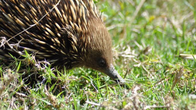 Echidna are often seen wandering at Wollongong campus