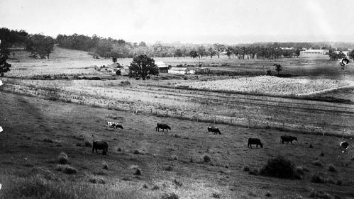 Orange grove farm with view of Turpentine tree in 1950's.  Source https://www.flickr.com/photos/uowarchives/6243043494/in/album-72157627787997885/