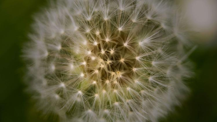 Dandelion image used for psychology to represent complexities of the brain
