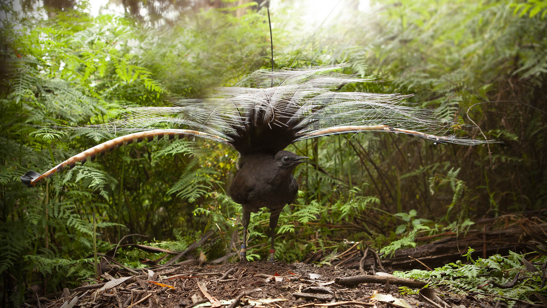 Masters of mimicry, male lyrebirds use their skill to deceive potential mates