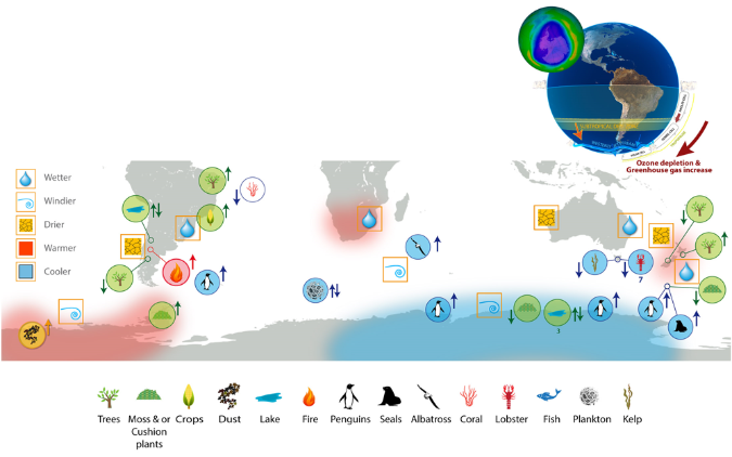 A schematic of the environmental effects, and associated biological impacts, of ozone-driven climate change in the southern hemisphere.  Image by Andrew Netherwood