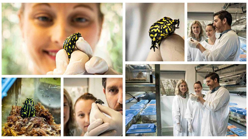 Collage of images of researchers Professor Sharon Robinson, Associate Professor Phillip Byrne and Dr Aimee Silla in the lab with southern corroboree frogs.